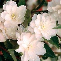Jardin d'ombre : Camélia 'Cinnamon Cindy'  Variété portant de jolies petites fleurs blanches de janvier à avril. Agréable parfum de cannelle.