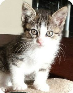 Warren, MI - Domestic Shorthair. Meet Paula a Kitten for Adoption.