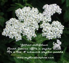 (Achillea millefolium) The delicate, white flowers of the common yarrow plant grow in clusters atop the tall flower stalks. A natural for meadow gardens, but also spreads to make a delightful ground cover. When topically applied, stops minor bl Herbal Medicine, Natural Medicine, Yarrow Plant, Achillea Millefolium, Tall Flowers, Herbaceous Perennials, Wild Edibles, Insect Repellent, Gardens