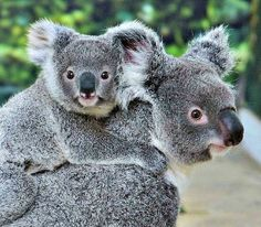 Piggy-back-ride, Koala Style!