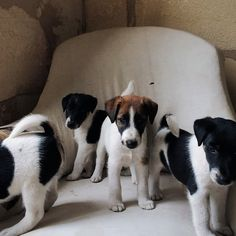 Angels but devils, getting naughtier by the day. Smooth Fox Terrier puppies.