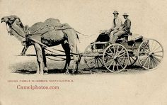 1905 Australia, Driving camels in harness, South Australia.