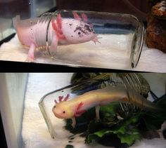 Axolotls in jars [why the jars? It is a feeding method used with aquatics including many fish that are bottom feeders. Pellets would be in the jar so they will clean up all the food -no waste- and won't have to fight other fish for it. In this case it also keeps the axolotl from ingesting the substrate]