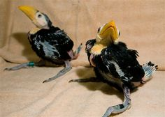 Baby toco toucans