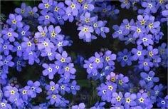 """1# Bulk Forget Me Not's wildflower Seeds from The Dirty Gardener by The Dirty Gardener. $19.99. Great Germination Rates. One of the most popular flowers of all times. Fast shipping from The Dirty Gardener. Cynoglossum. 1 full pound of seeds.  Blue """"forget me not"""" flowers are a classic.  A full pound will plant a large area very densely. Cynoglossum"""