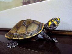 tortugas taricaya - Buscar con Google