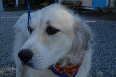 FILBERT is an adopted Great Pyrenees Dog in Woodland, CA. My name is Filbert and I'm a drop dead handsome 1 year old, neutered male purebred Great Pyrenees! I'm a gentle giant who loves to snuggle and...