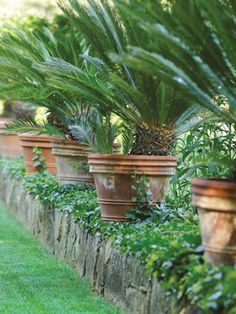 Potted Sago Palms--we first fell in love with these in New Olreans. They are everywhere!