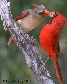 Cardinal Pair Love Birds, Kinds Of Birds, Beautiful Birds, Animals Beautiful, Cute Animals, Animals And Pets, Colorful Birds, Exotic Birds, Bird Pictures