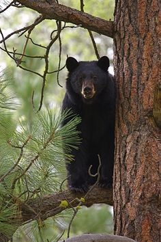 Black bearsare typically shy and easily frightened, but they arevery intelligent and curious. Black bears alsohave color vision and a keen senseof smell.