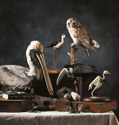 The Beaty Biodiversity Museum in MONTECRISTO Magazine. Brown pelican (Pelecanus occidentalis); Black-necked stilt (Himantopus mexicanus); Short-eared owl (Asio flammeus); White-throated toucan (Ramphastus toucanus); Lincoln's sparrow (Melospiza lincolnii), nest; Common murre (Uria aalge), eggs; Rock pigeon (Columba livia), articulated skeleton.  Darwin's Origin of Species, reprinted from the sixth edition, turn of the century, provided by Vancouver Architectural Antiques Ltd.; All other…