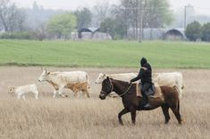 Pannónia Cattle Drive, Akhal Teke, Horses For Sale, Equestrian, Pure Products, Animals, Animales, Animaux, Horseback Riding