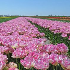 Tulpe 'Double Touch' Anfangs sind nur die Ränder der Blüte rosa, später die ganze Blüte. ein wunderbares Farbenspiel. Pflanzzeit ist im Herbst - online bestellbar bei www.fluwel.de