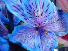The beautiful blue Alstroemeria flower (or Inca Lily).