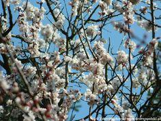 Morela mandżurska - Prunus mandshurica