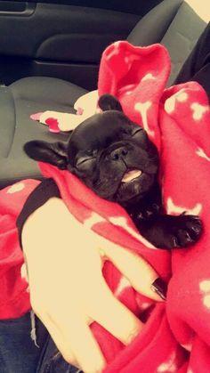 @daily_frenchie - French bulldog puppy