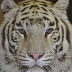 Weißer Tiger Tiger, Animals, Camel, Destinations, Animales, Animaux, Animal, Animais
