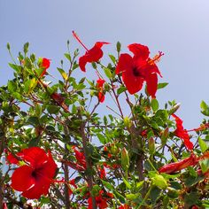 Bright Flowers against a brilliant blue sky in Mykonos, Greece.. #mykonos #greece #flowers #travel #mediterranian #coastline #colourful #contrast #sunshine #ilovegreece #bluesky #redflowers
