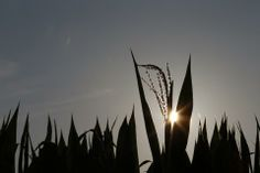 Worm Now Thrives in GMO Corn Designed to Kill It, Study Says http://www.newsweek.com/worm-now-thrives-gmo-corn-designed-kill-it-study-says-232276 ...rootworm is just one symptom of a systemwide problem ...the GMO seed industry's focus on short-term profit.