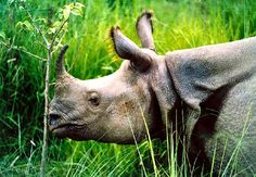 One horned Rhino - Kaziranga National Park, Assam