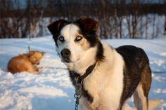 Swedish sled dogs.