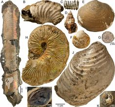 Fossils of extinct, free-swimming mollusks called ammonites found at the site of 74-million-year-old methane seep at the bottom of Western Interior Seaway in what is now South Dakota.