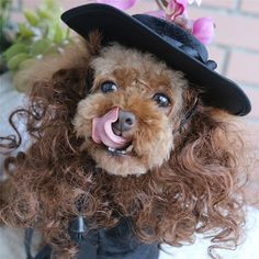 Is your little doggy a bit of a lady? Does she like the finer things in life? Our My Fair Lady Outfit with Wig is the perfect piece of dog clothing to show off her fashionable style. https://www.dressyourdoggy.com/collections/funny-dog-costumes/products/my-fair-lady-dog-costume-with-hat-wig?variant=32419234386