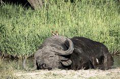 A #buffalo bull cools off.