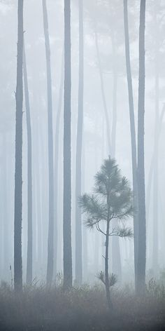 Pine in the Everglades National Park, Florida  - one misty morning. -  Paul Marcellini