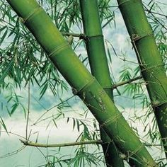 Bamboo is a sturdy construction material.