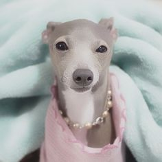 Tina. Italian Greyhound What a beauty:)