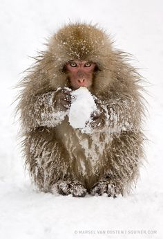 "M is for monkey Wanna Play? ""This cheeky little snow monkey made a snow ball and looked at me as if it wanted to start a snow fight."" by Marsel van Oosten. Primates, Mammals, Beautiful Creatures, Animals Beautiful, Japanese Macaque, Funny Animals, Cute Animals, Wild Animals, Tier Fotos"