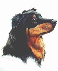 (Shelby) english shepherd colors - Black and Tan