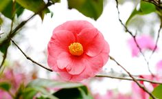 The Flowers of Airlie Gardens, Camellia #Airlie #AirlieGardens #Bloom #gardens #nhc #ilm #nature #camellia
