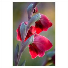 GAP Photos - Garden & Plant Picture Library - Gladiolus papilio 'Ruby' - Pettifers Garden, Oxfordshire - GAP Photos - Specialising in horticultural photography