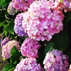 Lush Hydrangeas .