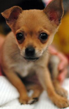 Tipper Whoodle Miniature Puppy For Sale In Pennsylvania Miniature Puppies Puppies Whoodle Puppy