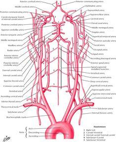 Arteries to Brain: Schema Anatomy Ophthalmic artery, Supraorbital artery, Supratrochlear artery, External nasal artery, Middle meningea. Head Anatomy, Brain Anatomy, Human Body Anatomy, Human Anatomy And Physiology, Medical Anatomy, Internal Carotid Artery, Vertebral Artery, Subclavian Artery, Spirituality