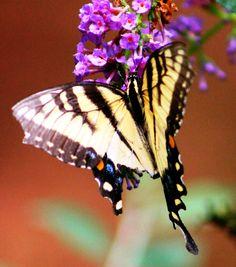butterfly in my garden