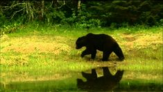 Fortress of the Bears | The Rainforest Site Blog