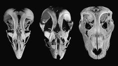 Hoping to help trace the history of how velociraptors evolved into birds, researchers at Harvard and Yale may have tracked a key beak transformation to two genes.