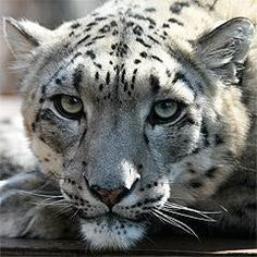 Snow Leopard, Olga, Cleveland Metroparks Zoo PC&A Building Zoo Animals, Cute Animals, Cleveland Zoo, Cleveland Metroparks, Clouded Leopard, Leopards, Cute Animal Pictures, Favim, Snow Leopard