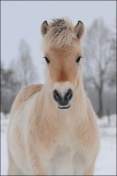 Norwegian Fjord Horse. Look at those eyes! Great winter shot.