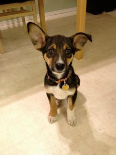 16 Puppies Who Will Grow Into Those Ears ... Eventually