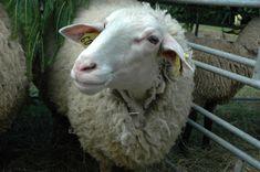 Slovenská dojná ovca Naše národné plemeno Lamb, Goats, Animals, Animales, Animaux, Animal, Animais, Baby Sheep, Goat