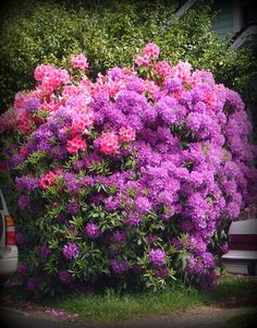 Rhododendrons :: Hometalk