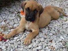 Golden Boxer puppy.
