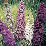 Buddleja (Mixed)  Hardy  Butterflies and Bees  Full Sun  Soil acidity: neutral/alkaline  Soil dampness: dry/medium  SOil fertility: any  Soil drianage: high  Wind protection: Medium