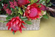 Waratah varieties Swallows Nest Farm Tasmania