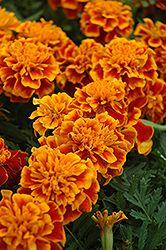Click to view large photo of Bonanza Flame Marigold (Tagetes patula 'Bonanza Flame') at Dutch Growers Garden Centre